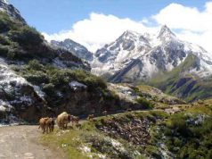 Bettelmatt - vacche di razza Bruna Alpina