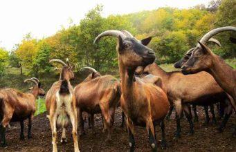 Le capre delLe Ramate sono condotte allo stato semibrado