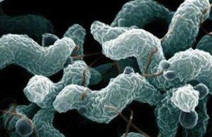 """Il Campylobacter, uno dei microrganismi patogeni presenti nel latte alimentare, eliminabile tanto dalla pastorizzazione termica quanto da quella """"non termica"""". A differenza di quest'ultima, la pastorizzazione convenzionale compromette però molti nutrienti del latte"""