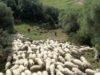 Pecore al pascolo nelle campagne di Chiaramonti (foto Azienda Agricola Monzitta e Fiori)