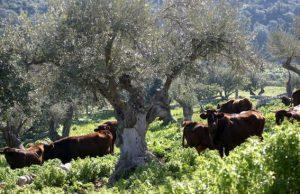 Vacche di Modicana al pascolo. Il legame col territorio e con le razze locali sono alla base della ricerca dell'Università di Palermo