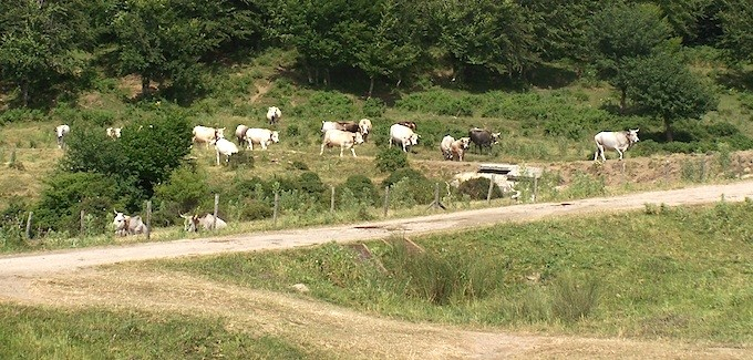 Vacche di razza Podolica al pascolo (foto Michele Pizzillo)