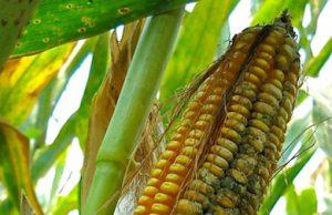 Una pannocchia di mais colpita da aflatossine