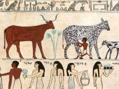 Una delle pitture che testimoniano la mungitura ai tempi degli antichi egizi (Metropolitan Museum di New York / foto tratta da wikipedia / Creative Commons©)