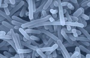 Listeria monocytogenes osservata al microscopio
