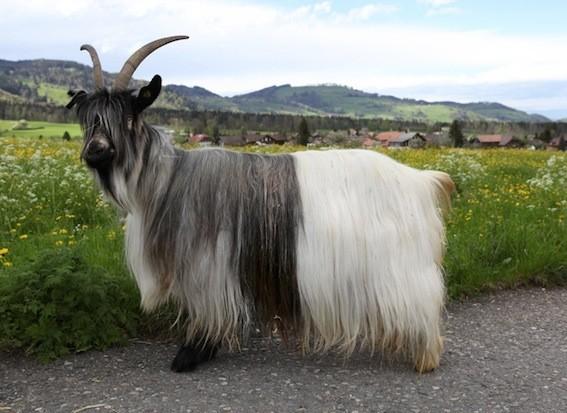 Capra di razza Vallesana collo grigio - foto Rare®