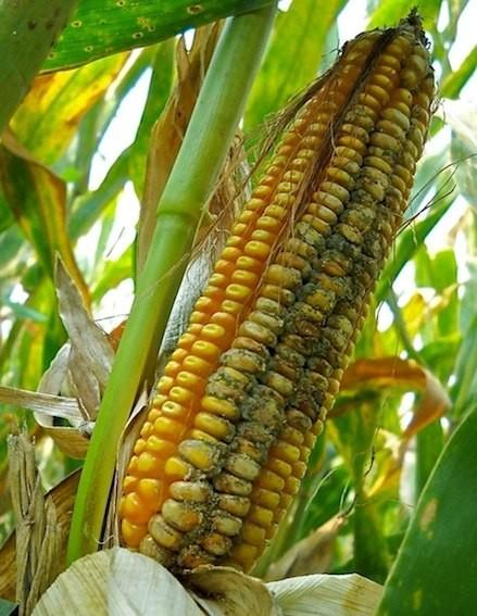 I maggiori problemi di tossine nel latte vengono dall'alimentazione a base di insilati di mais, fortemente soggetti ad essere contaminati dalle aflatossine