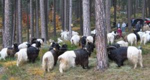 Raduno di capre di razza Vallesana - foto Germano Boretti - Rare®