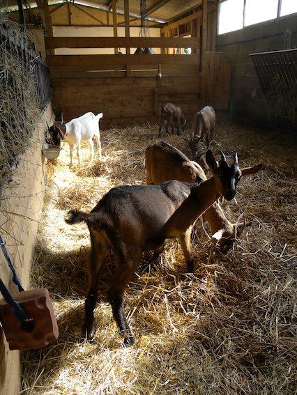 Capre all'interno della stalla della Fattoria Ma' Falda di Prodo, Orvieto