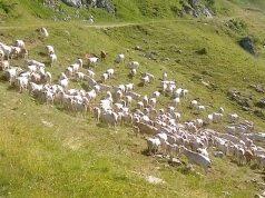 Vacche di razza piemontese sui pascoli di Ormea - foto Azienda Agricola Castagnino®