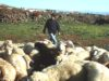 Pastorizia in Sardegna - foto Michele Arbau©