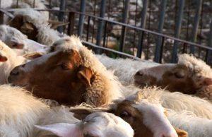 Pecore di razza comisana - foto allevamento Giuseppe Ciraulo®