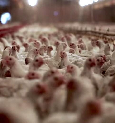 Allevamento intensivo di pollame - immagine Ciwf©
