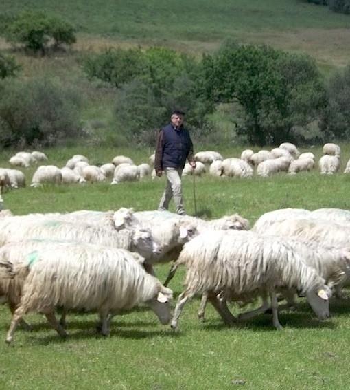 Pier Angelo Monzitta con le sue pecore al pascolo