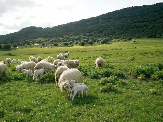 Una delle prerogative dell'azienda agricola Monzitta e Fiori è quella di disporre di decine di ettari di pascolo, in parte irriguo
