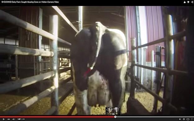 L'ampuatzione della coda di una vacca, pratica concessa (ancora sino al 2018) in alcuni Stati degli Usa - foto Mercy for Animals©