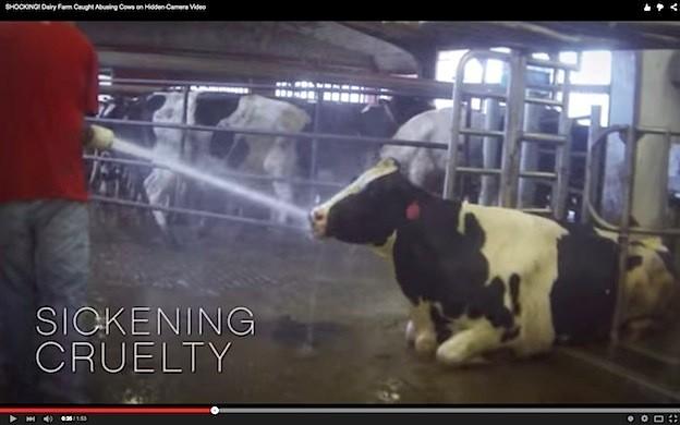 """Uno degli abusi meno cruenti: acqua ad alta pressione sulle vacche ritenute """"pigre"""", ma in semplice difficoltà per una vita di sfruttamenti - foto Mercy for Animals©"""