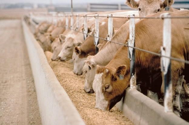 Chiedetevelo: che carne è se se sono stati alimentati con mangimi la cui composizione spesso non è conosciuta neanche dall'allevatore?