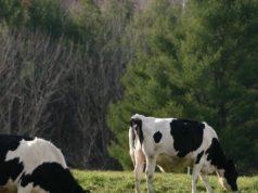 Vacche al pascolo - foto Rejar - Jared Benedict - Under Creative Commons License©