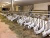 Sempre più spesso ormai le capre sono costrette alla stabulazione e ad un'alimentazione contronatura. Il motivo? Voler produrre quantità, a dispetto di una qualità tutta da dimostrare - foto Feed Concept©