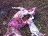 L'esasperazione per i pastori toscani è a livelli mai registrati prima. Le istituzioni devono trovare una soluzione - foto Bartolomeo Carta, pastore in Mazzolla, Volterra