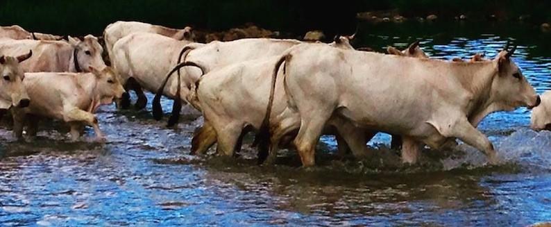 Le vacche dei Colantuono al guado del fiume Biferno - foto dalla pagina Facebook Transumanza2015