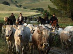 I Colantuono impegnati nella transumanza con trecento bovine di razza Podolica, di ritorno verso Frosolone - foto Masserie Colantuono®