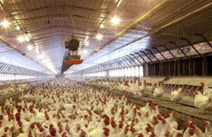 Allevamento intensivo di galline: qui gli antibiotici sono somministrati a titolo preventivo, creando gravissimi problemi alla salute dei consumatori