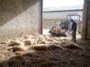 Che siano state uccise dai lupi o dagli ibridi di lupo poco cambia. E all'industria del latte fa comodo così - foto Giovanni Zizi®