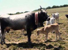 Podolica calabtrse con il suo vitello - foto Provincia di Cosenza©
