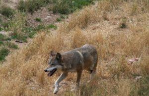 Esemplare di canis lupus italicus - foto Jasef, Creative Commons License©