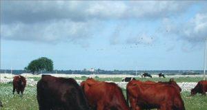 Vacche di razza bovina autoctona Modicana al pascolo - foto CoRFiLaC®