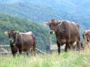 Bovine di Cabannina, la-simbolo della Liguria - Azienda Agricola Petramartina® di Rezzoaglio