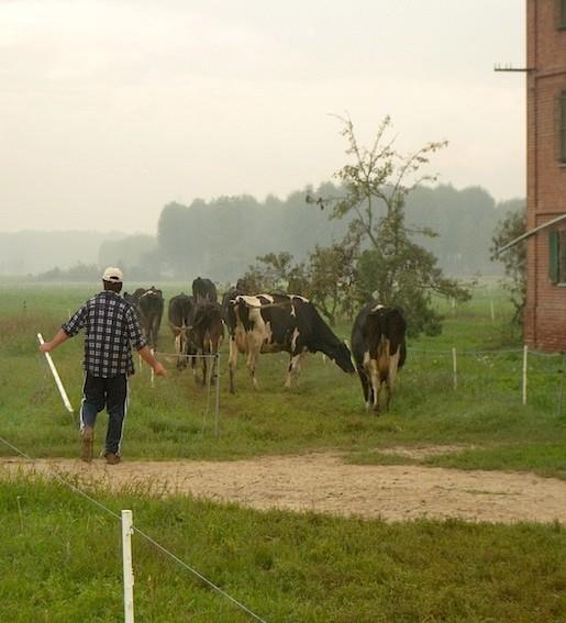 Vacche al pascolo in splendidi pascoli polifiti, alla Cascina Roseleto, dove solo tre anni fa c'erano campi di mais