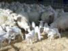 Pecore e agnelli di razza Sarda - foto Marcello Mundula - Creative Commons License©