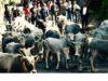 Un'immagine della transumanza garganica del 2015 - foto Carpino Folk Festival®
