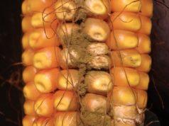 Una pannocchia di mais attaccata dall'Aspergillus