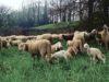Le pecore di Massimo Freddi al pascolo nel Sottomura di Ferrara - foto di Aldo Modonesi® (da Facebook)