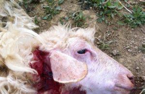 Una delle pecore predate venerdì scorso dai lupi a Manciano - foto dal profilo Facebook di Michele Saturnia Manini®