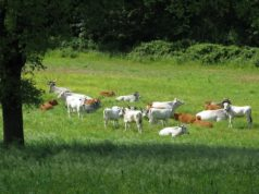 Vacche al pascolo - foto Francesca Pisseri®