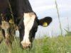 Una vacca al pascolo nella Cascina Roseleto di Villastellone, in provincia di Torino