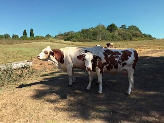 Vacche al pascolo (in ottobre l'erba sarà verde) e campagna a perdita d'occhio. Anche questa è la magia di Roma - foto La Mucca Ballerina©