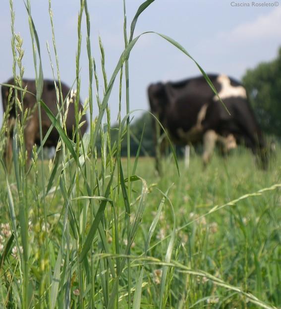 Vacche al pascolo nei pascoli di Cascina Roseleto, a Villastellone (Torino). L'azienda ha riconvertito da intensivo ad estensivo nel 201 - foto Cascina Roseleto©