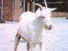 Le capre affette da scrapie sono riconoscibili per l'andatura non coordinata, gli spasmi muscolari e l'espressione ''selvaggia'' negli occhi - Foto e fonte Fao©