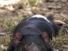 Un esemplare di Tasmanian Devil - foto di Wayne McLean, Creative Commons License©