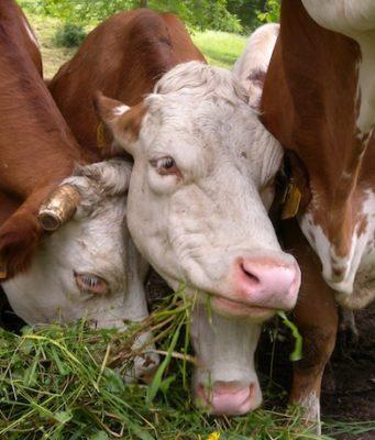 Il buon latte esiste e fa bene. È quello dell'erba e del fieno. Ce lo spiega il nutrizionista e dietista Loreto Nemi in questo articolo, basato sulle analisi di laboratorio di quattro latti