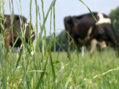 Vacche al pascolo a Cascina Roseleto, azienda leader nella produzione di Latte Nobile in Piemonte - foto Cascina Roseleto©