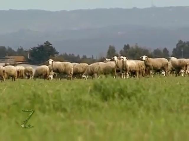 Il pastore Luigi Farina è uno strenuo sostenitore del pascolamento. Qui una parte delle sue pecore riprese dalla trasmissione Zonattiva di Telemaremma Tv9 - L'intervista è linkata in calce a questo articolo