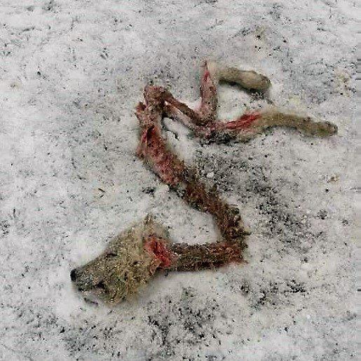 Quel che resta di un cane da guardiania predato dai lupi. La foto è stata tratta da Facebook, che l'hai poi censurata. La verità darà forse fastidio a qualcuno?