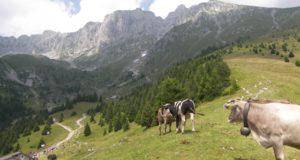 Un campanaccio da un chilo e 650 grammi al collo di questa vacca sugli alpeggi della Presolana - foto Giovanni Mocchi©